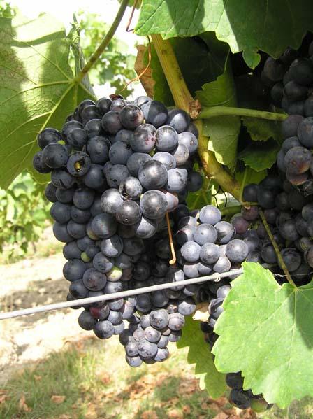 Winogrona odmiany Agni