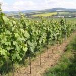 Winnice w Blatničce, na horyzoncie Biale Karpaty