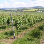 Winnice w Blatničce-na tle Biale Karpaty