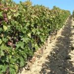 Winnica w Boleradicach (subregion velkopavlovicki)