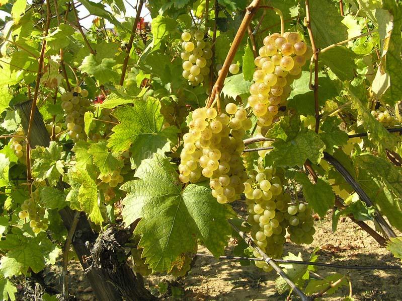 Ryzlink vlašský - winnica w Boleradicach