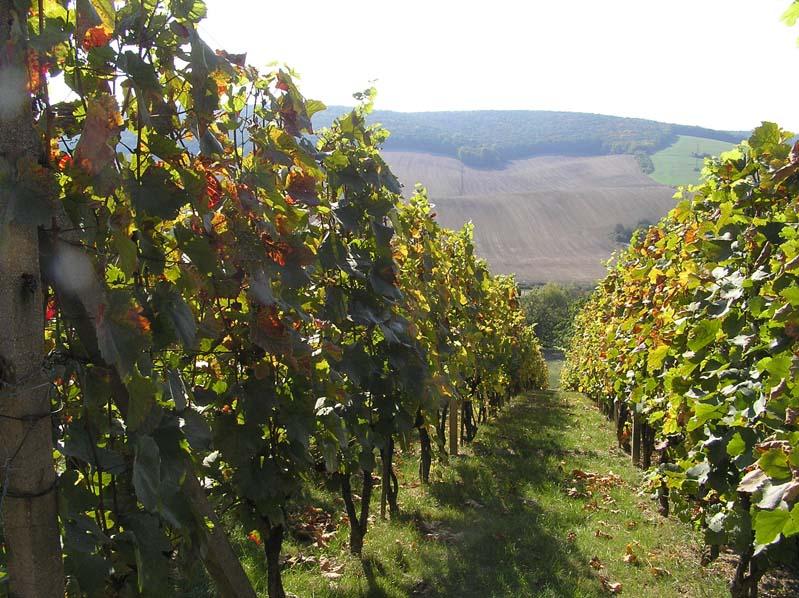 Winnice w Boleradicach (subregion velkopavlovicki)