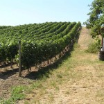Winnica w Čejču (subregion slovacki)