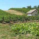 Winnice w Čejču