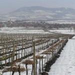 Zimowe winnice w Dolnych Dunajovicach