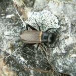 Gryllus campestris-Świerszcz polny - znak zdrowej winnicy
