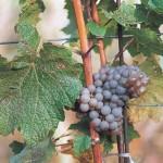 Winogrona Pinot gris - Rulandské šedé