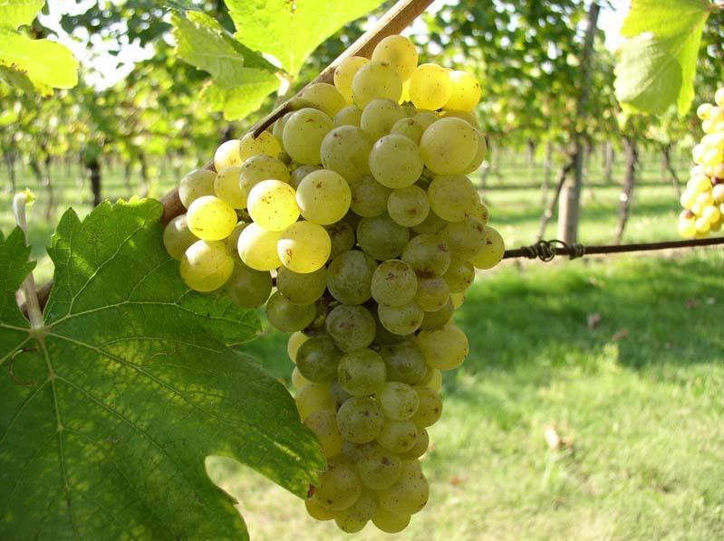 Winogrono odmiany Ryzlink vlašský