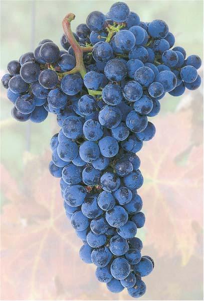 Winogrono odmiany Merlot
