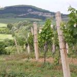 "Tanzberg od strony winnicy ""Za Cihelnou"""