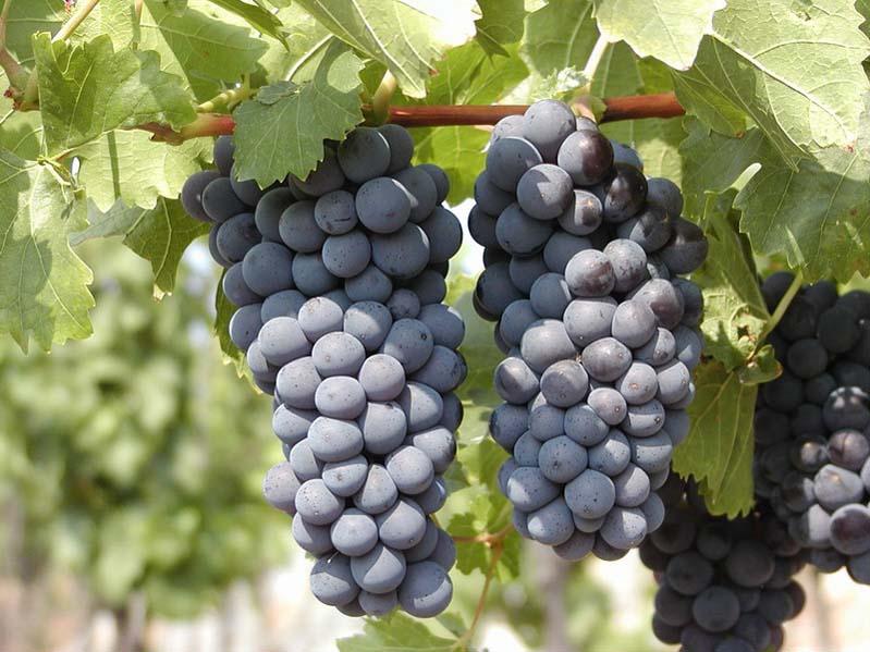 Winogrona odmiany Modrý Portugal