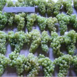 Winogrona Muszkatu morawskiego