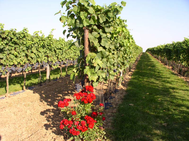Winnica - winiarstwo Glos - Moravská Nová Ves