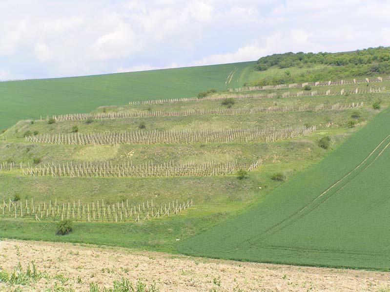 Nosislav - winnice