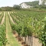 Perná - winnice pod Palawa
