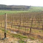 Wiosenne winnice Sádek