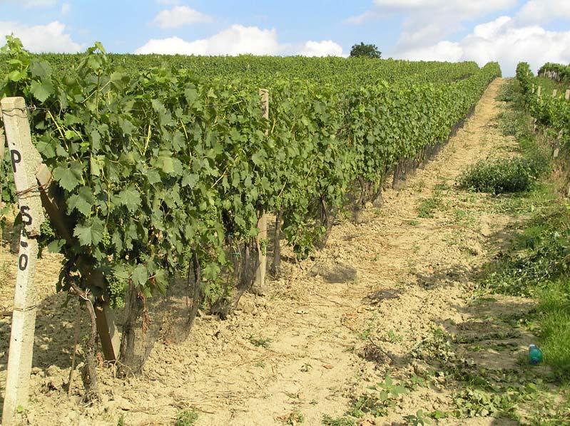 Velké Bílovice - winnice