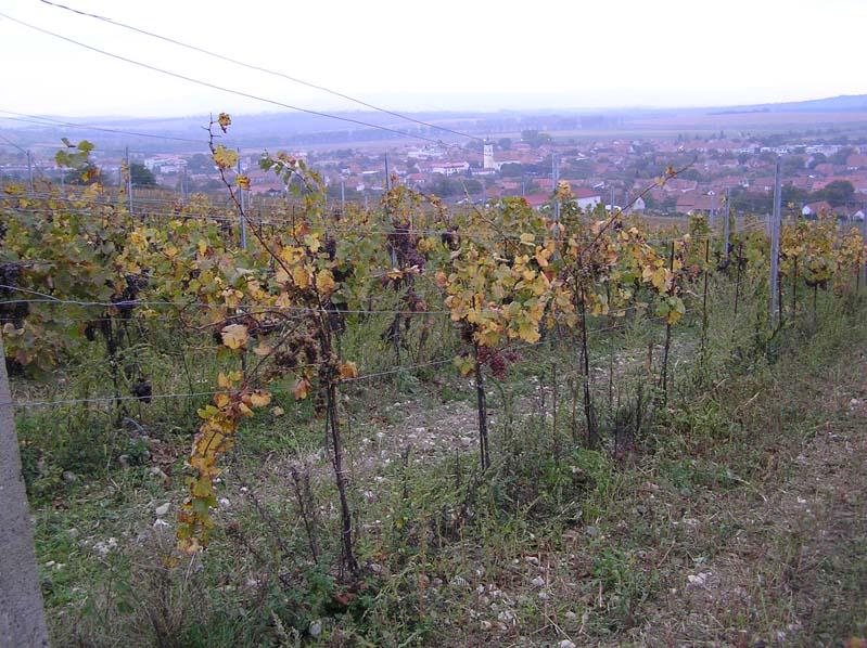 Blatnica pod Św. Antoninkiem - winnice z Traminerem
