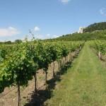 Winnice w Pernej na zboczach Wzgórz Palawskich