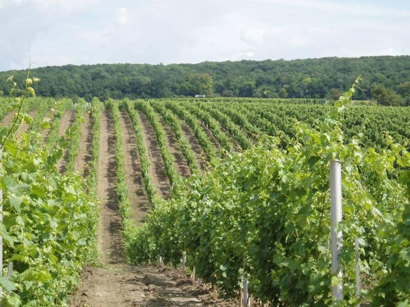 Winnice w Blatniczce