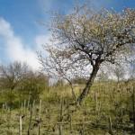 Wiosna w winnicy boleradickiej