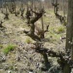 Boleradice - ponad 70-letnia winnica - Frankovka