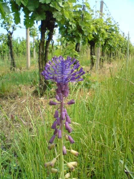 Kwiatek w winnicy