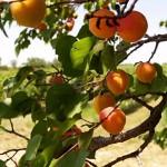 Morele w sadzie na Morawach
