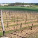 Winiarstwo Sádek - Kojetice - winnice