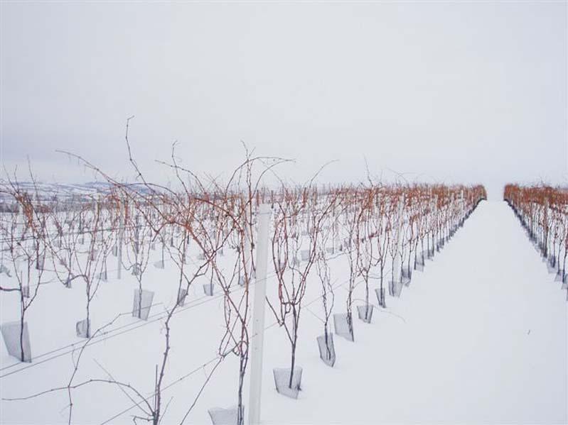 Zima w winnicy