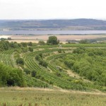 Winnice w Pernej