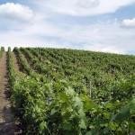 Winnica gdzieś na Morawie