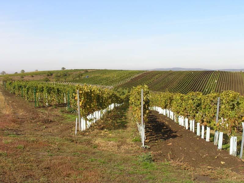 Čejkovice - winnice