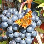 Winogrono i motyl