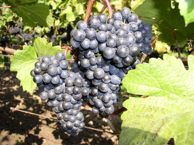 Winogrona odmiany Zweigeltrebe