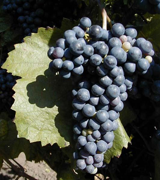 Winogrono odmiany Zweigeltrebe