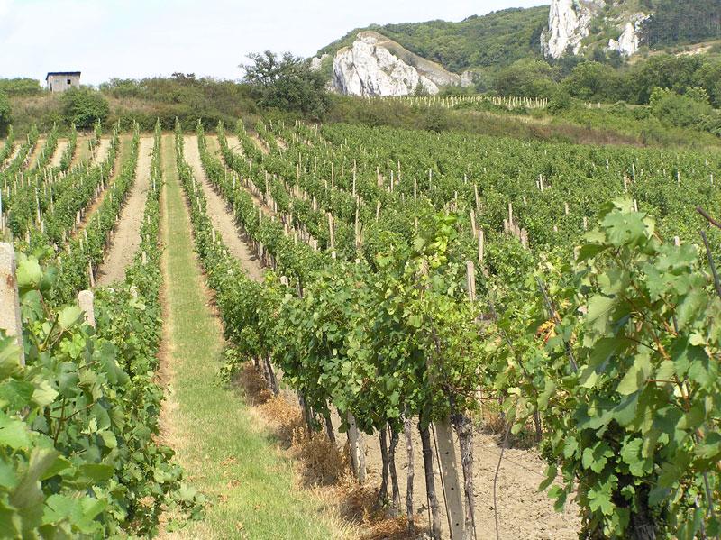 MORAWY i winnice